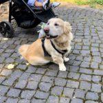 Ringträger auf vier Pfoten - Hund mit Ringkissen